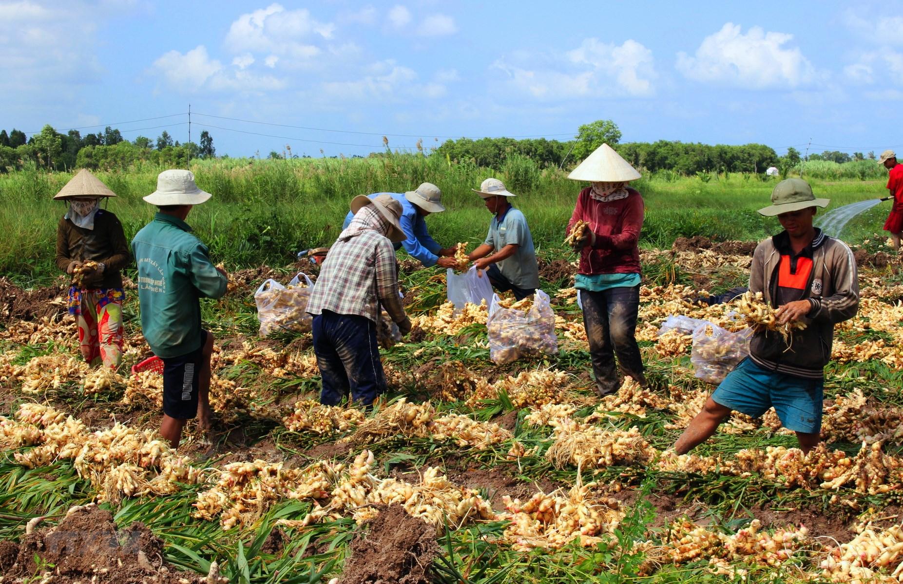 Story of Vietnam Ginger